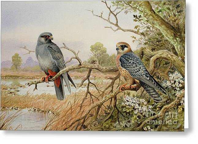 Red-footed Falcons Greeting Card