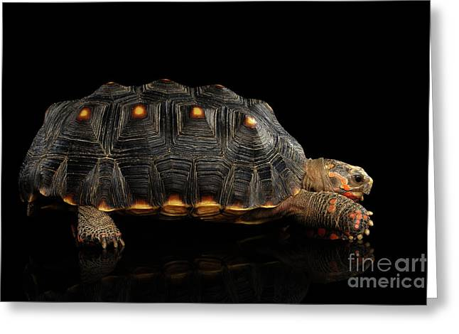 Red-footed Tortoises, Chelonoidis Carbonaria, Isolated Black Background Greeting Card by Sergey Taran