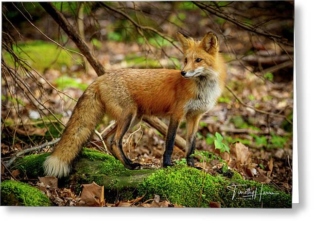 Red Fox #2 Greeting Card