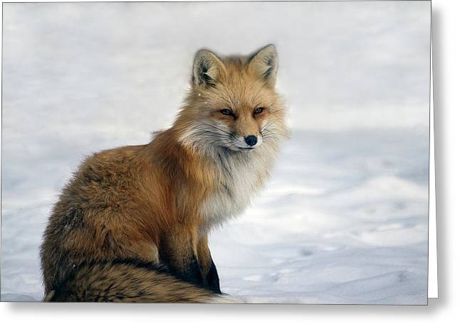 Red Fox - Changing Of The Seasons Greeting Card by A O Tucker
