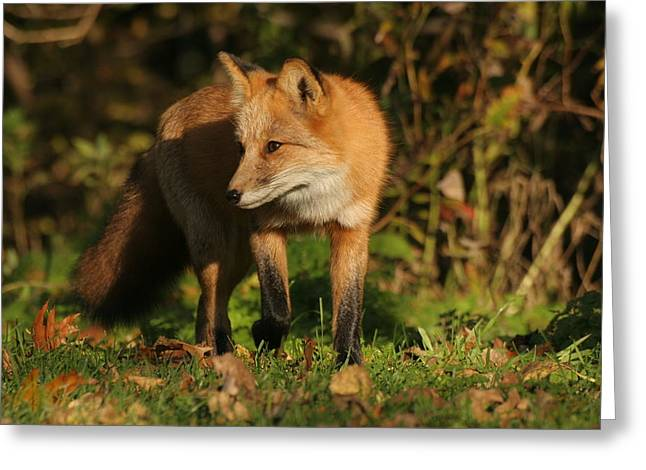 Greeting Card featuring the photograph Red Fox by Doris Potter