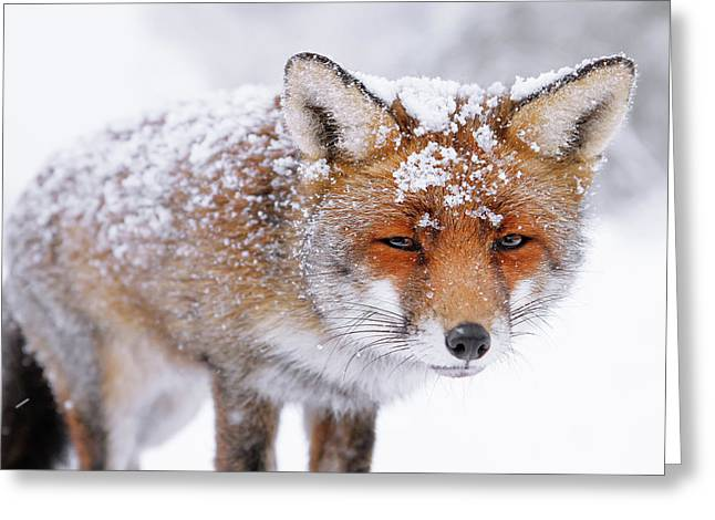Red Fox Face In The Snow Greeting Card