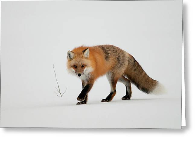 Jasper Greeting Cards - Red fox Greeting Card by Ginevre Smith