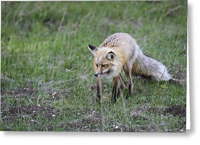 Red Fox Hunting Greeting Card