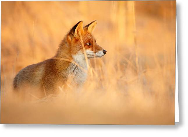 Red Fox In Red Light Greeting Card