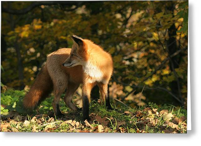 Greeting Card featuring the photograph Red Fox In Shadows by Doris Potter