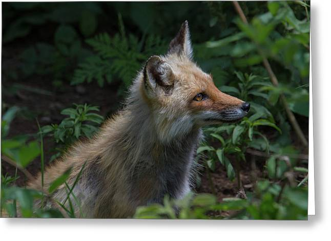 Red Fox In The Forest Greeting Card