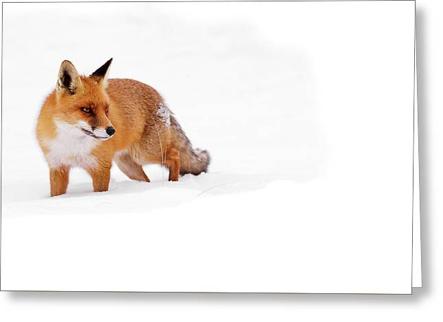 Red Fox In The White Snow Greeting Card