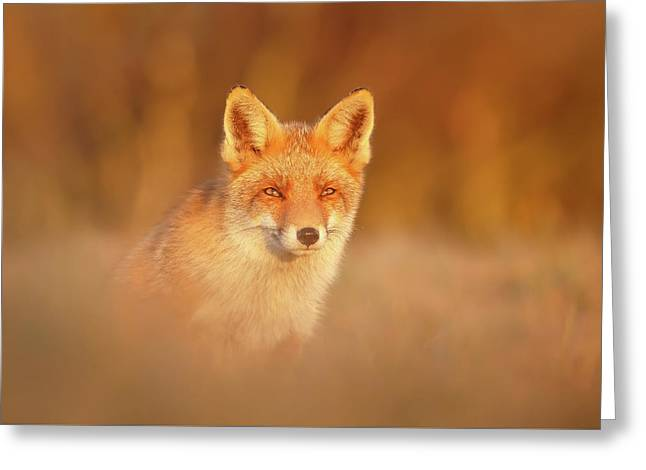 Red Fox In Warm Light Greeting Card