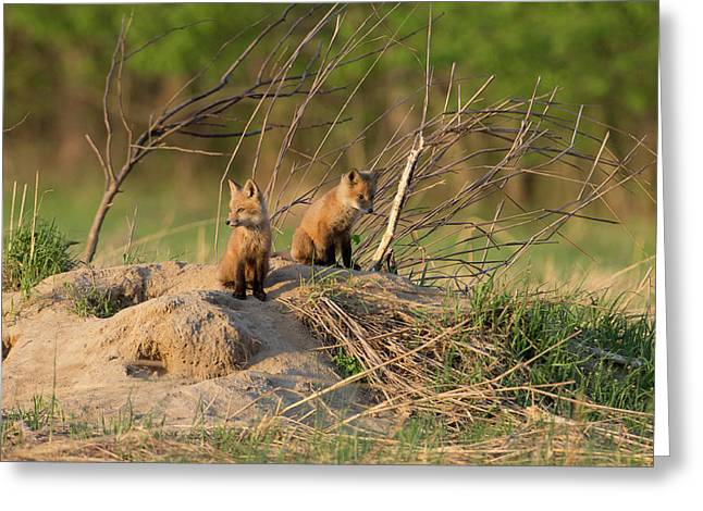 Red Fox Kits Keeping Watch Greeting Card