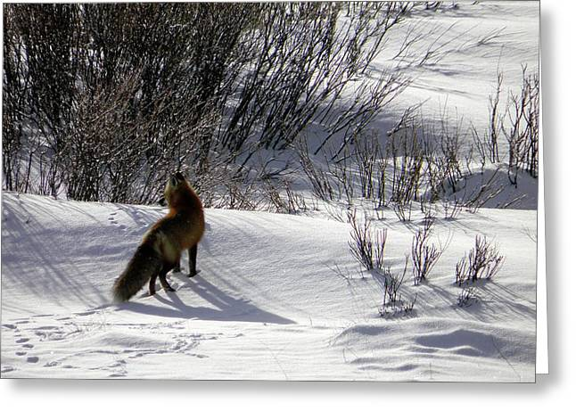 Greeting Card featuring the photograph Red Fox  by Meagan  Visser