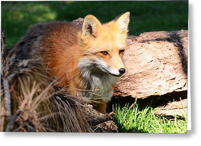 Red Fox On Patrol Greeting Card