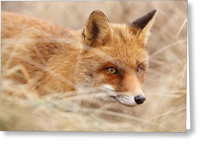 Red Fox On The Hunt Greeting Card