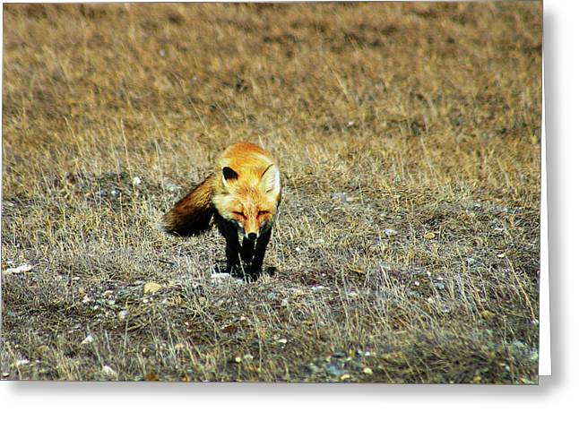 Greeting Card featuring the photograph Red Fox On The Tundra by Anthony Jones