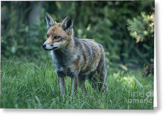 Red Fox Greeting Card by Philip Pound