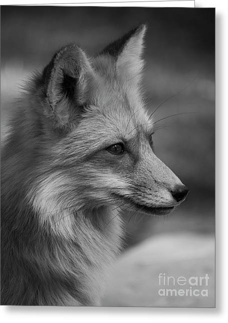 Red Fox Portrait In Black And White Greeting Card