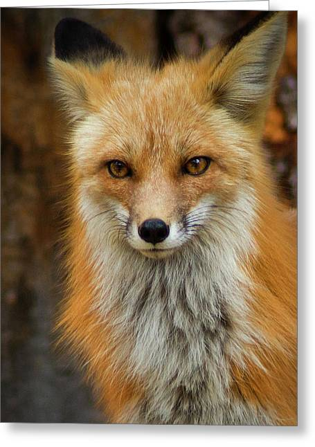 Red Fox Portrait Greeting Card