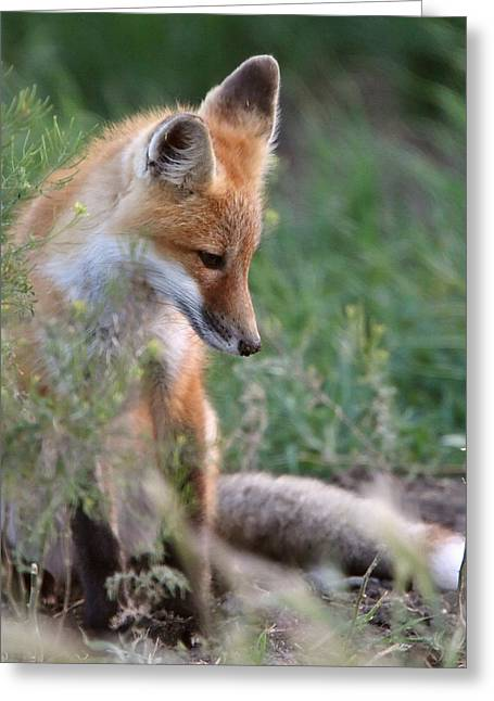 Red Fox Pup Outside Its Den Greeting Card by Mark Duffy
