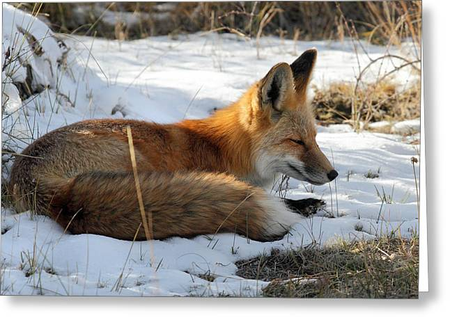 Red Fox Sleeping In The Snow Greeting Card by Pierre Leclerc Photography