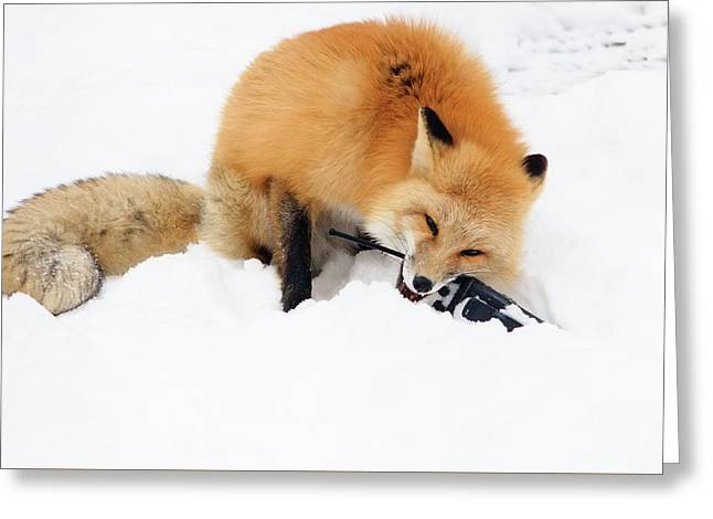 Red Fox To Base Greeting Card