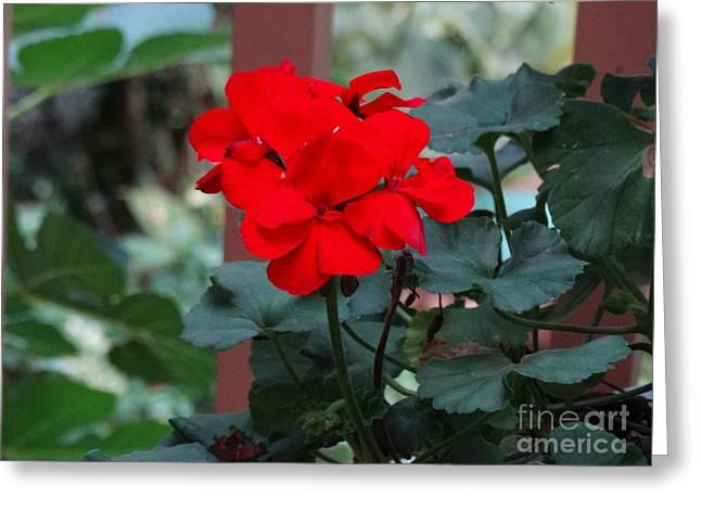 Red Garden Geranium Greeting Card by Gina Sullivan