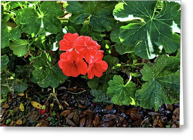 Red Geranium 1 Greeting Card by John Trommer