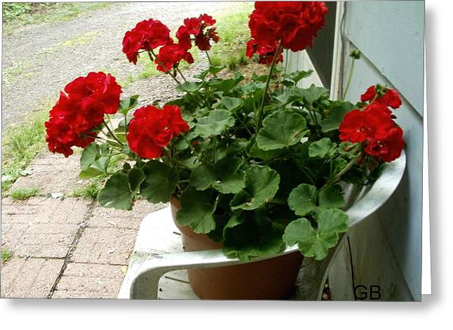 Red Geraniums Greeting Card by Glenda Barrett