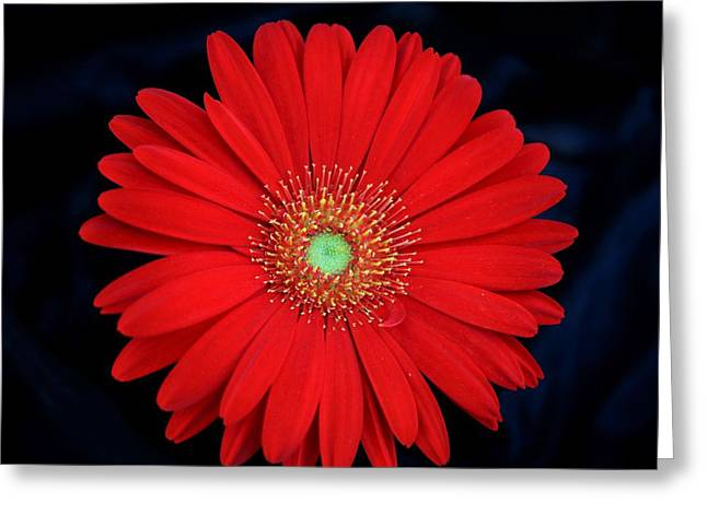 Greeting Card featuring the photograph Red Gerber Daisy On Black by Sheila Brown