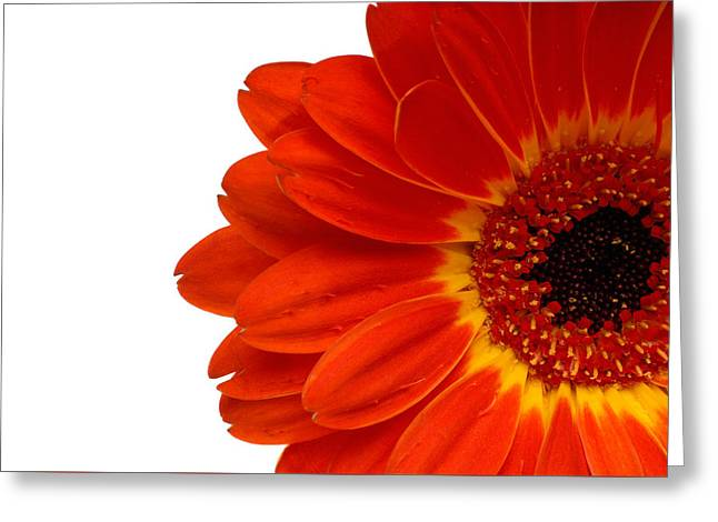 Red Gerbera Daisy Flower Greeting Card by Norman Pogson