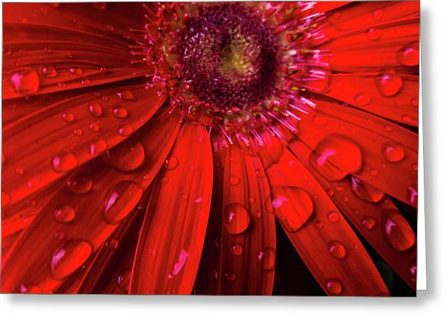 Red Gerbera Greeting Card by Jacqueline Schreiber