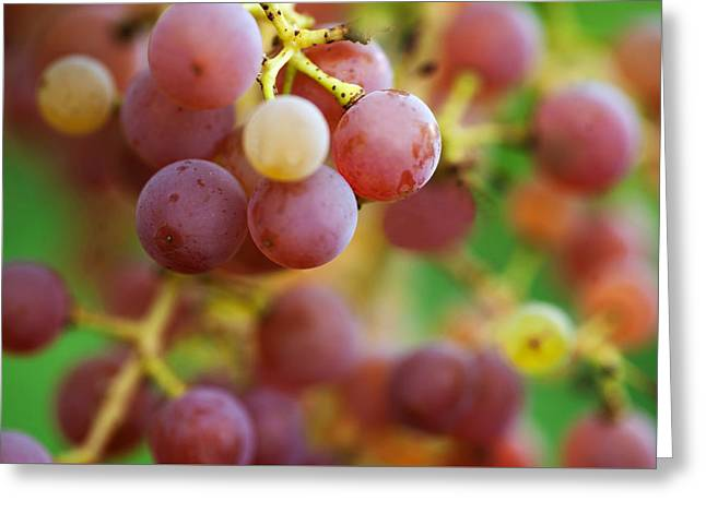 Red Grapes Greeting Card by Jenny Rainbow