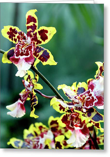 Striped Maroon And Yellow Orchid Greeting Card