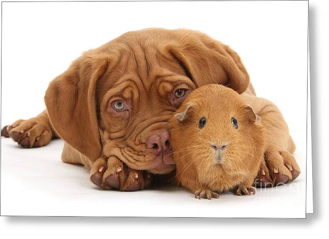 Red Guinea Pig And Dogue De Bordeaux Greeting Card
