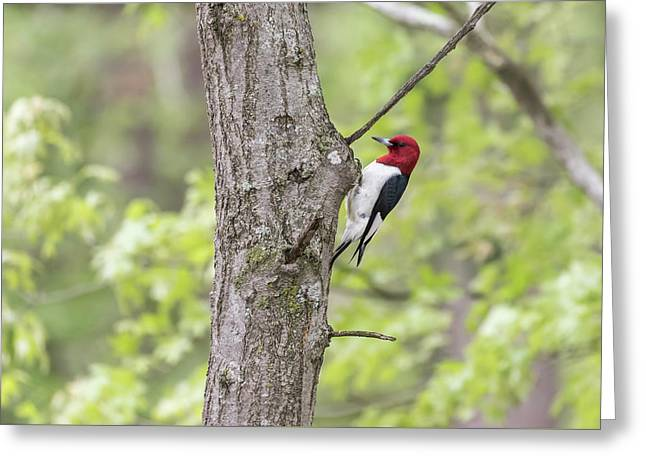 Red-headed Woodpecker 2017-2 Greeting Card by Thomas Young
