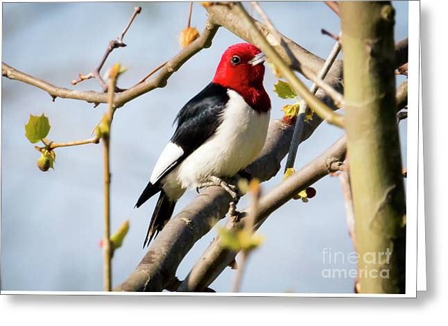 Greeting Card featuring the photograph Red-headed Woodpecker At A Glace  by Ricky L Jones