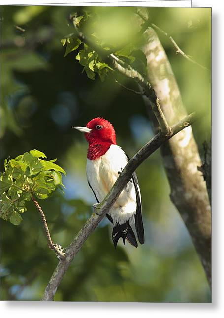 Full-length Portrait Photographs Greeting Cards - Red-headed Woodpecker Perched On A Tree Greeting Card by George Grall