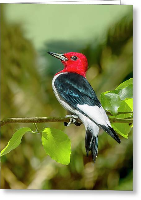 Red-headed Woodpecker Portrait Greeting Card