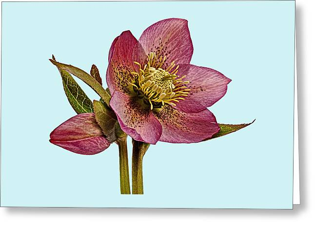 Greeting Card featuring the photograph Red Hellebore Blue Background by Paul Gulliver