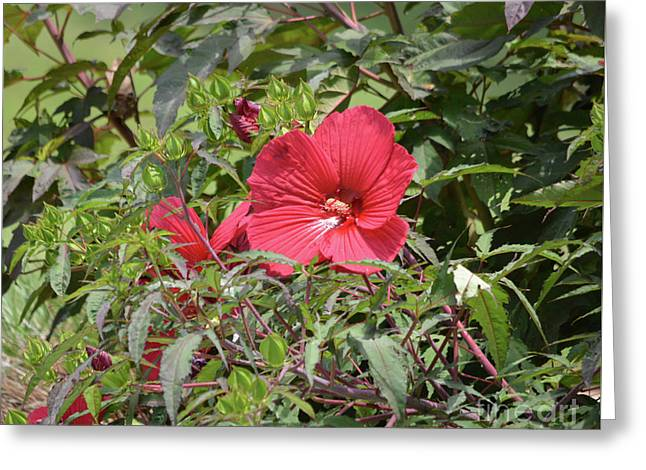 Red Hibiscus 2 Greeting Card by Ruth Housley