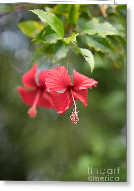 Red Hibiscus Details Greeting Card by Mike Reid