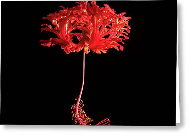 Red Hibiscus Schizopetalus On Black Greeting Card