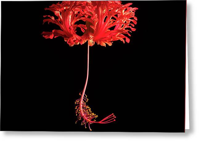Red Hibiscus Schizopetalus On Black Greeting Card