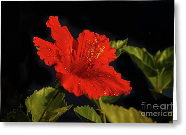 Red Hibiscus With Water Drops Greeting Card by Robert Bales