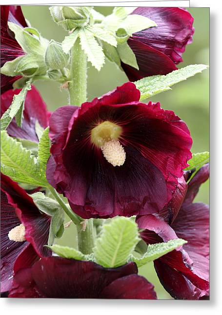 Red Hollyhock Flowers Greeting Card