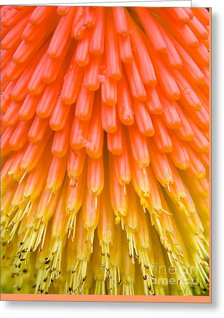 Red Hot Poker Flower Close Up Greeting Card