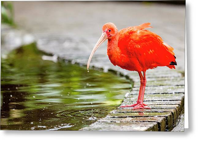 Greeting Card featuring the photograph Red Ibis by Alexey Stiop
