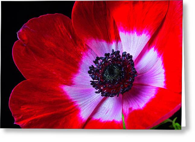 Red Iceland Poppy Greeting Card by Garry Gay