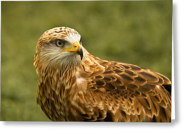 Greeting Card featuring the photograph Red Kite by Scott Carruthers