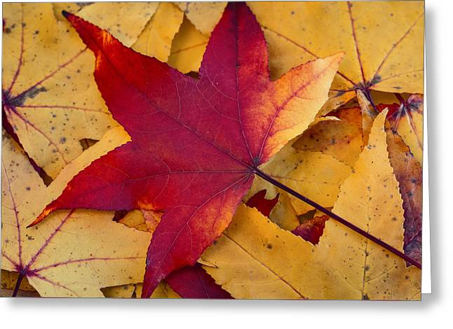 Red Leaf Greeting Card by Chevy Fleet