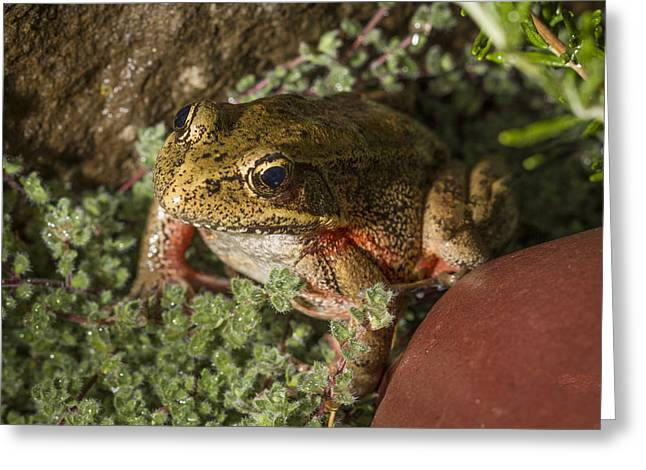 Red Legged Frog Greeting Card by Jean Noren